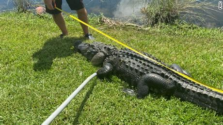 Florida alligator attack: A woman was attacked by a 10