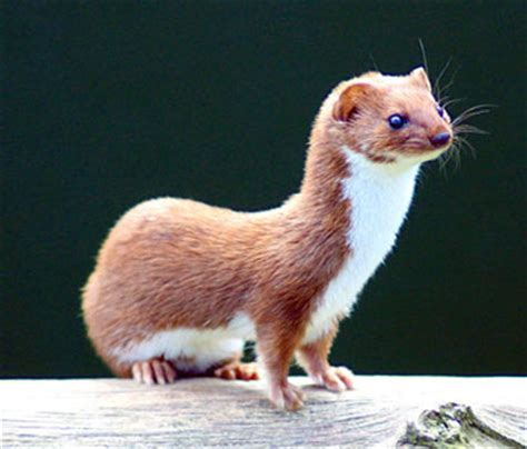Least Weasel: The Animal Files